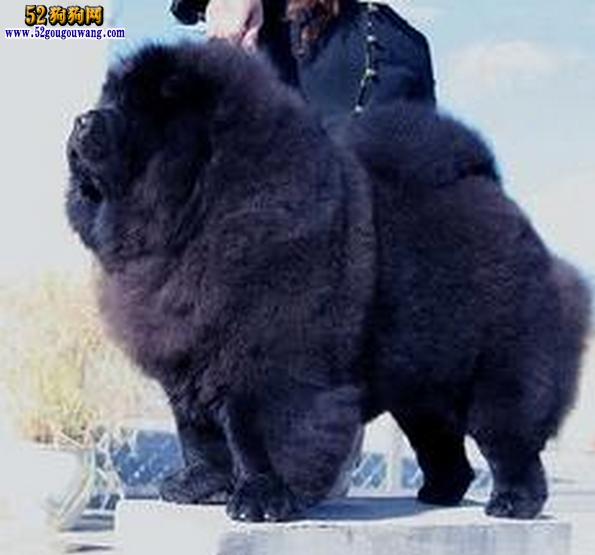 黑色松狮图片1