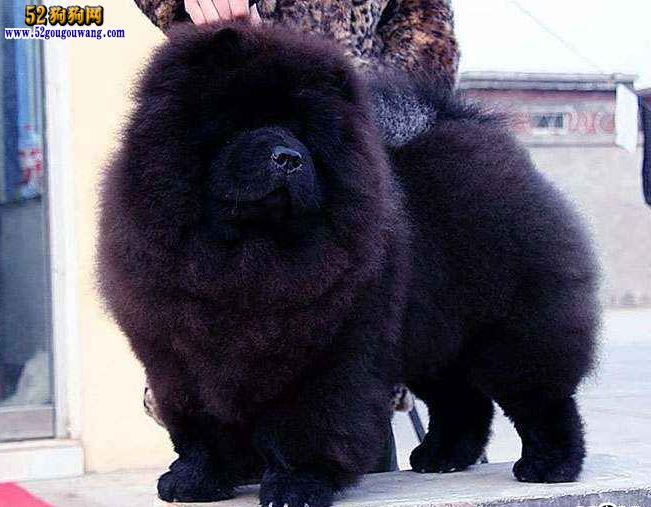 黑色松狮图片2