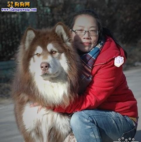 纯白色小型贵宾爸爸和纯红色泰迪妈妈配生出狗狗的图片_阿拉斯加狗图片大全_阿拉斯加红色大狗图片欣赏