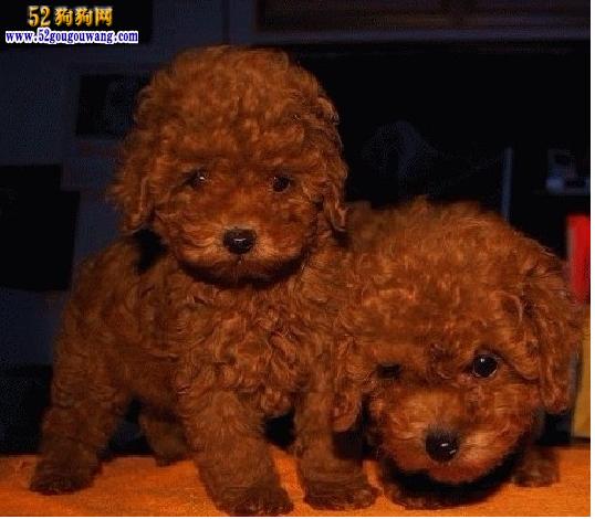 比熊犬和泰迪犬哪个好