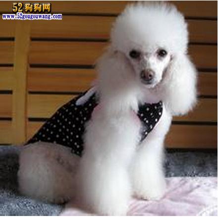 白色巨型贵宾犬价格_【白色贵宾犬价格】-贵宾犬-52狗狗网