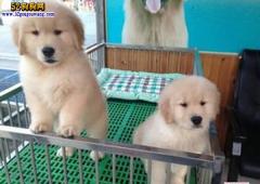 【金毛寻回犬价格】金毛犬售价