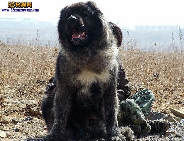 怎么给高加索犬洗澡,冬季高加索犬洗澡注意事项