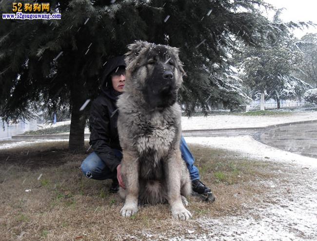 高加索犬冬天如何养护及注意事项