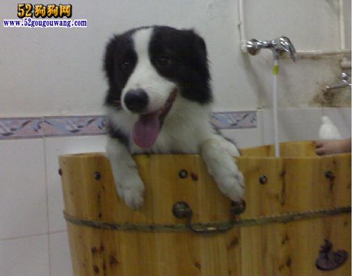 怎么给边境牧羊犬洗澡,冬季边境牧羊犬洗澡注意事项