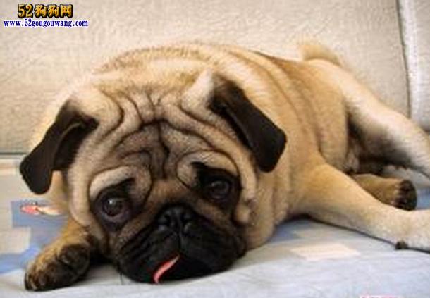 纯种八哥犬囹�a_【纯种八哥犬】