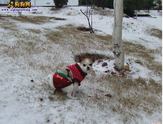 吉娃娃狗冬天如何养护及注意事项
