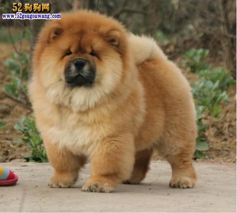 松狮犬怎么看纯种_【松狮图片大全】-狗狗图片-52狗狗网