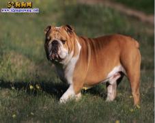 【斗牛犬品种】斗牛犬一共有哪几个品种?