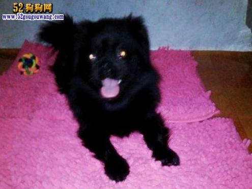 黑色京巴狗
