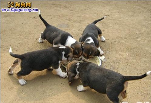 是一种杂食性动物,和其他的狗狗一样