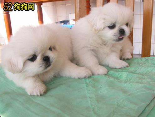 京巴狗小时候特别的可爱