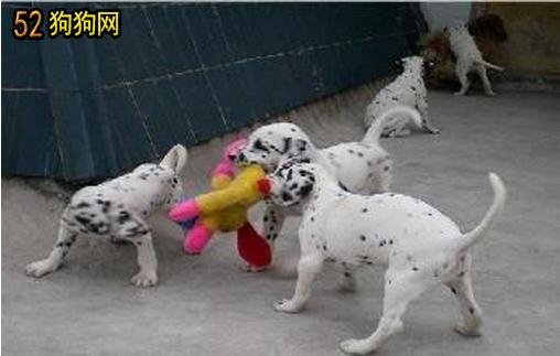 出售斑点狗图片