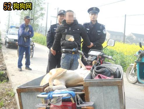 偷狗团伙:偷藏獒金毛犬每斤8元卖给屠宰场!