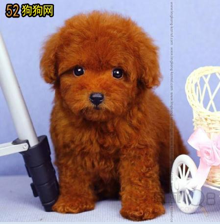 【泰迪贵宾犬】