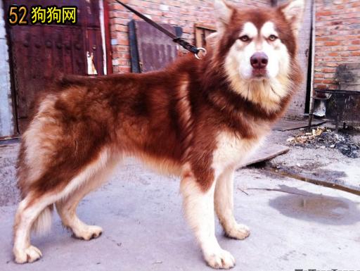 纯白色小型贵宾爸爸和纯红色泰迪妈妈配生出狗狗的图片_阿拉斯加红色大狗图片欣赏_阿拉斯加狗图片大全