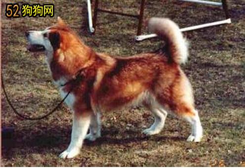 阿拉斯加红色大狗图片欣赏_阿拉斯加狗图片大全_纯白色小型贵宾爸爸和纯红色泰迪妈妈配生出狗狗的图片