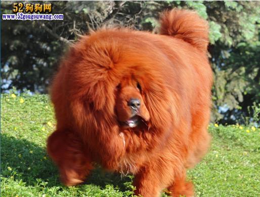 藏獒红利图片