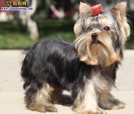 约克夏犬图片