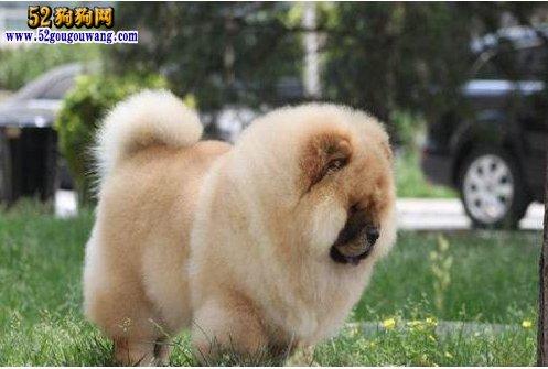 美系松狮犬图片