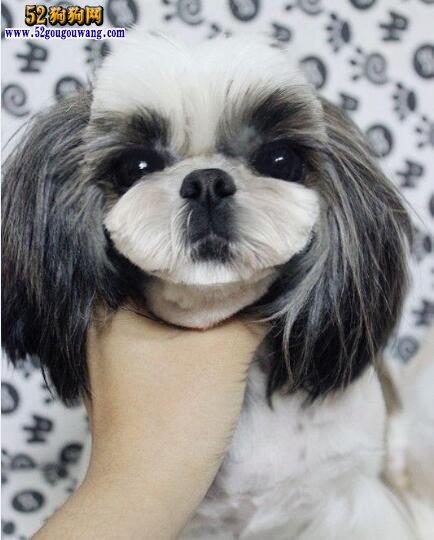 黑白西施犬图片