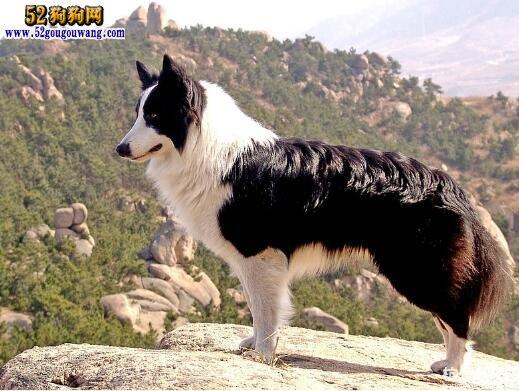 边境牧羊犬图片