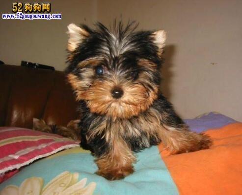 哪里有卖约克夏犬?