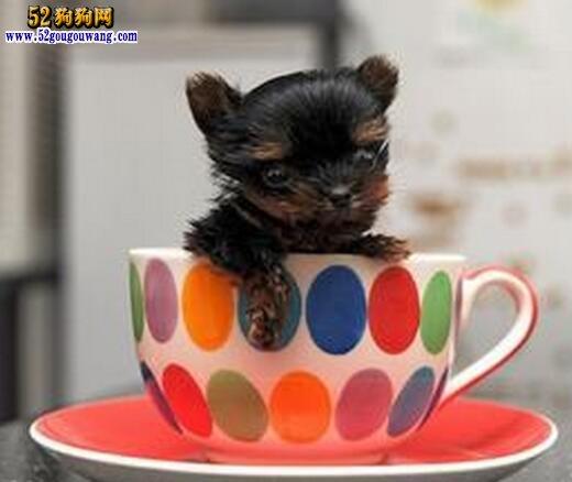 茶杯犬约克夏