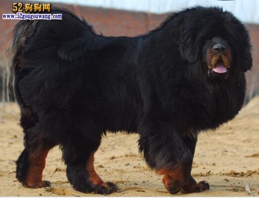 中国最大的藏獒王_【藏獒王】世界上最大的藏獒王
