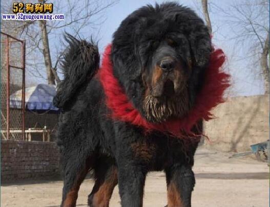 巨型藏獒犬图片_最大的赤古藏獒欣赏_最大的赤古藏獒相关图片内容