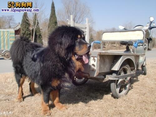【高加索犬和藏獒】关于高加索犬和藏獒的相关问题
