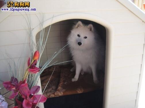 银狐犬聪明吗?