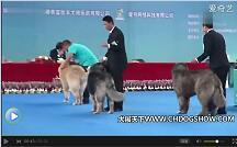 【高加索犬犬展视频】