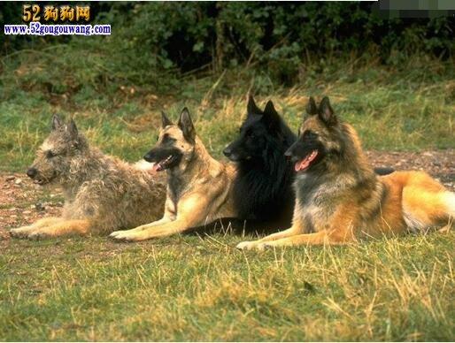 """长毛的黑比利时牧羊犬的存活至今归功于鲁塞尔城外的饭店老板同时又是Chateau Groenendael主人的尼可拉斯诺斯。他购买了被认为是这些长毛黑犬之鼻祖的""""Picard d'Uccle""""和""""Petite"""",还建起了一个兴旺的犬场。这个犬场可追溯到1893年,也就是比利时牧羊犬俱乐部接受关于比利时牧羊犬最初标准的那一年。""""Picard d'Uccle""""与""""Petite""""联姻,生下了优秀的后代&"""
