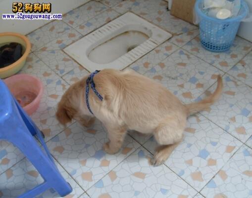 怎样训练金毛犬