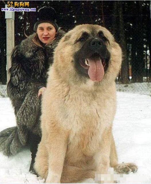 最大的高加索犬