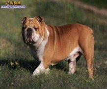 英国斗牛犬价格和法国斗牛犬价格相差多少