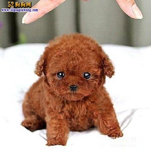 泰迪犬的名字