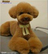 【泰迪犬造型】泰迪犬造型图片大全