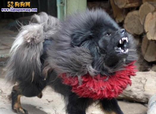 俩性图片_【鬼藏獒】关于鬼脸藏獒的内幕-藏獒-52狗狗网