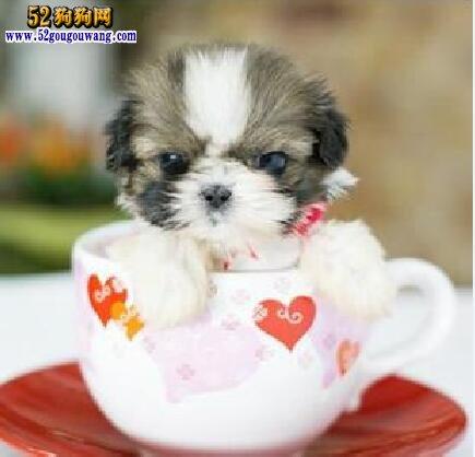 茶杯蝴蝶犬