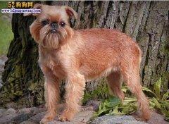 凉山狗红青图片_狗狗品种 - 各种类型的宠物狗狗品种大全-52狗狗网