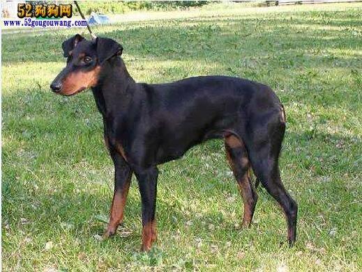 玩具曼彻斯特犬