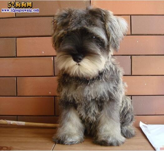【小型雪纳瑞犬图片】迷你雪纳瑞犬图片大全
