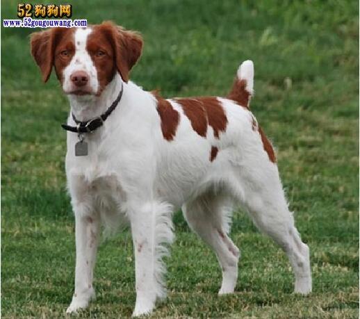 布列塔尼犬