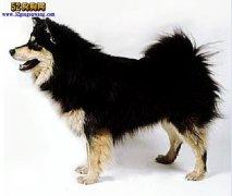 【芬兰拉普猎犬】资料品种简介