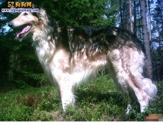 俄罗斯猎狼犬