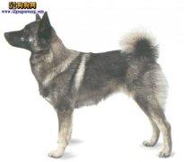 【挪威猎麋犬】挪威猎鹿犬资料品种简介