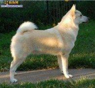 【挪威牧羊犬】挪威布哈德犬资料品种简介