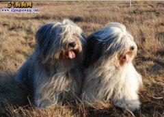 【波兰低地牧羊犬】资料品种简介
